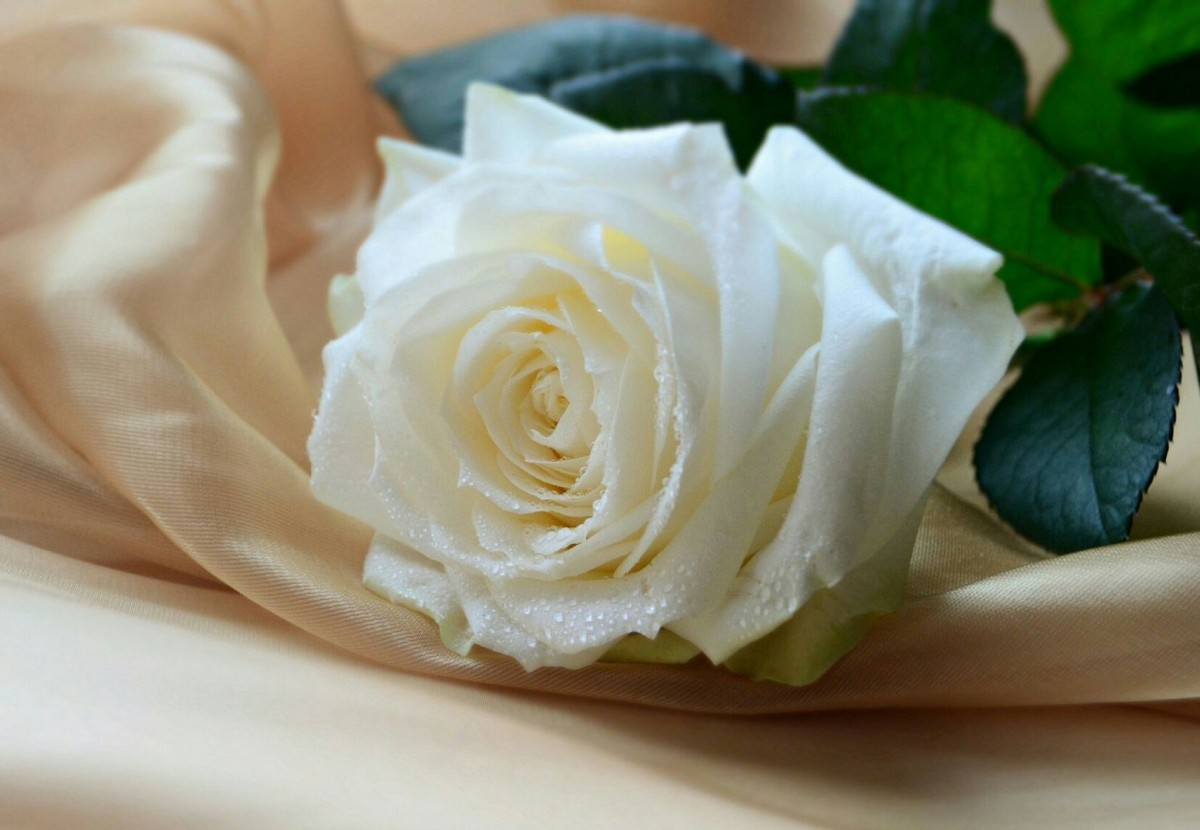Puzzle Zbierać puzzle online - White rose