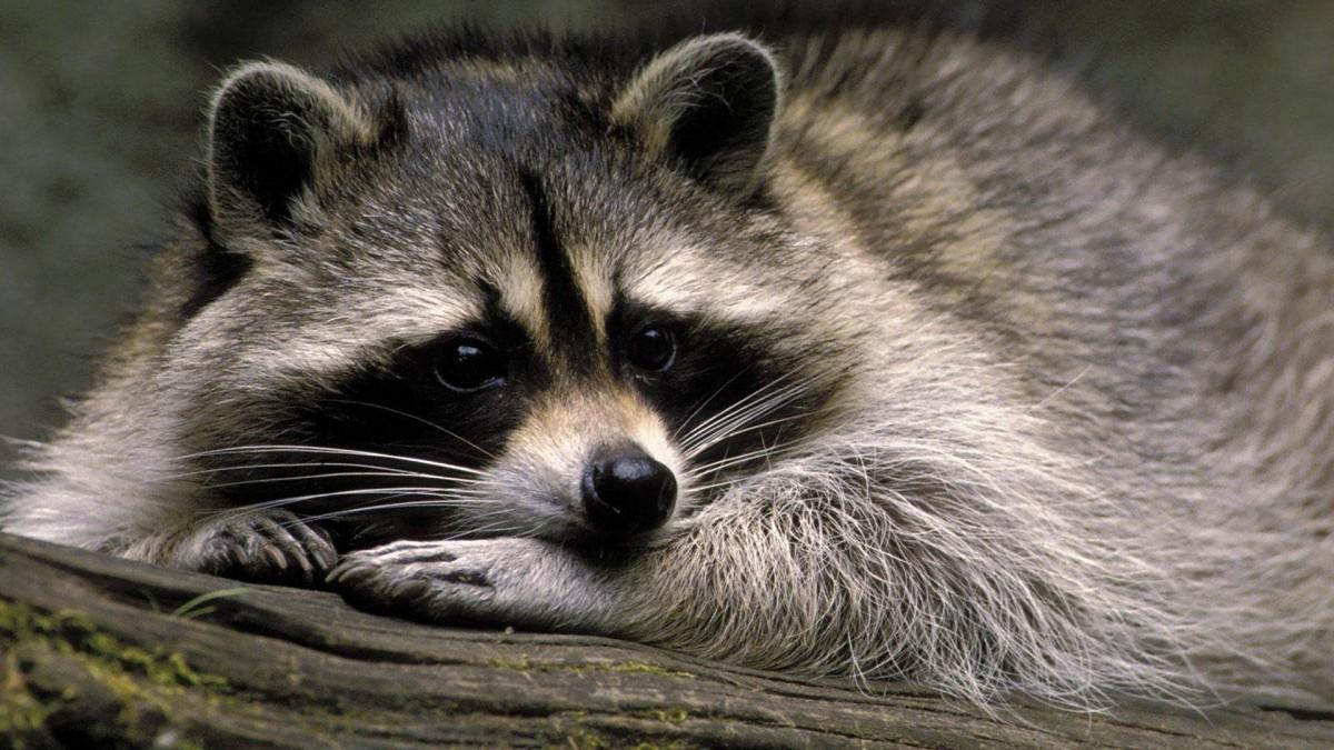 Puzzle Zbierać puzzle online - Raccoon