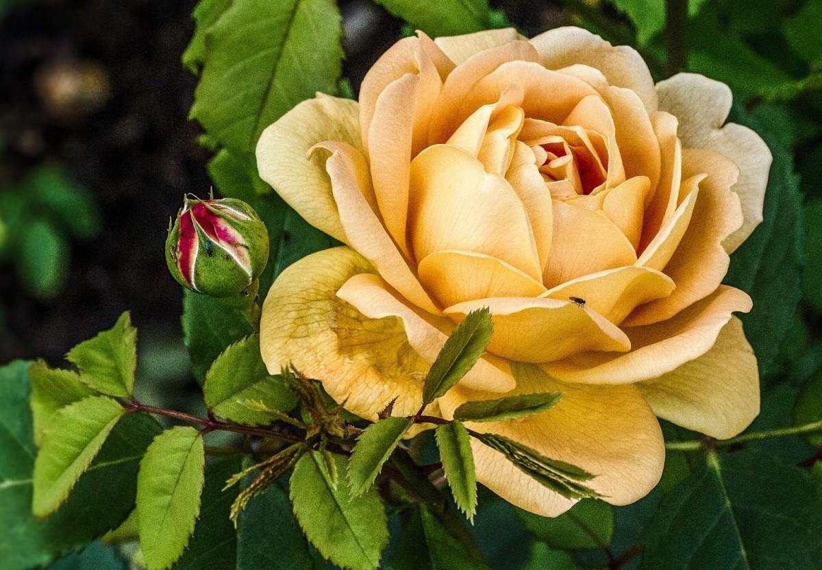 Puzzle Zbierać puzzle online - Cream rose