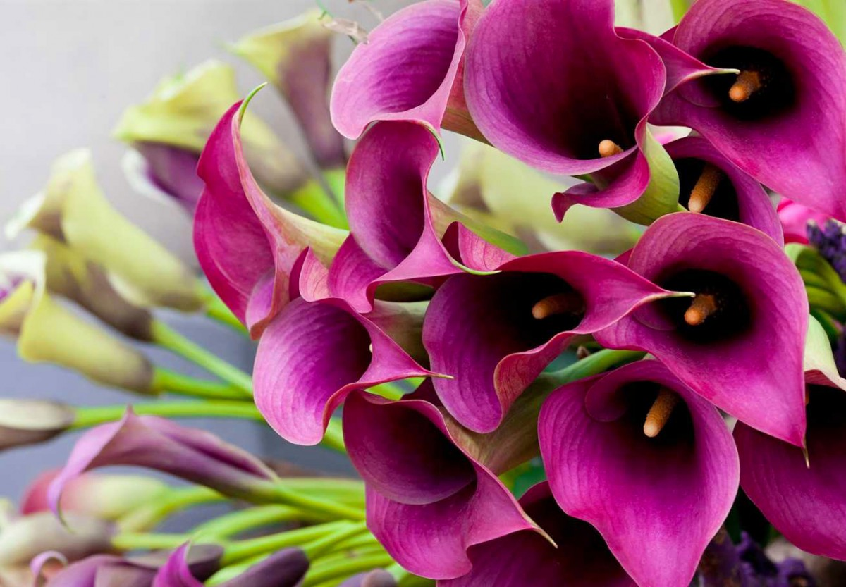 Puzzle Zbierać puzzle online - Purple Calla lilies