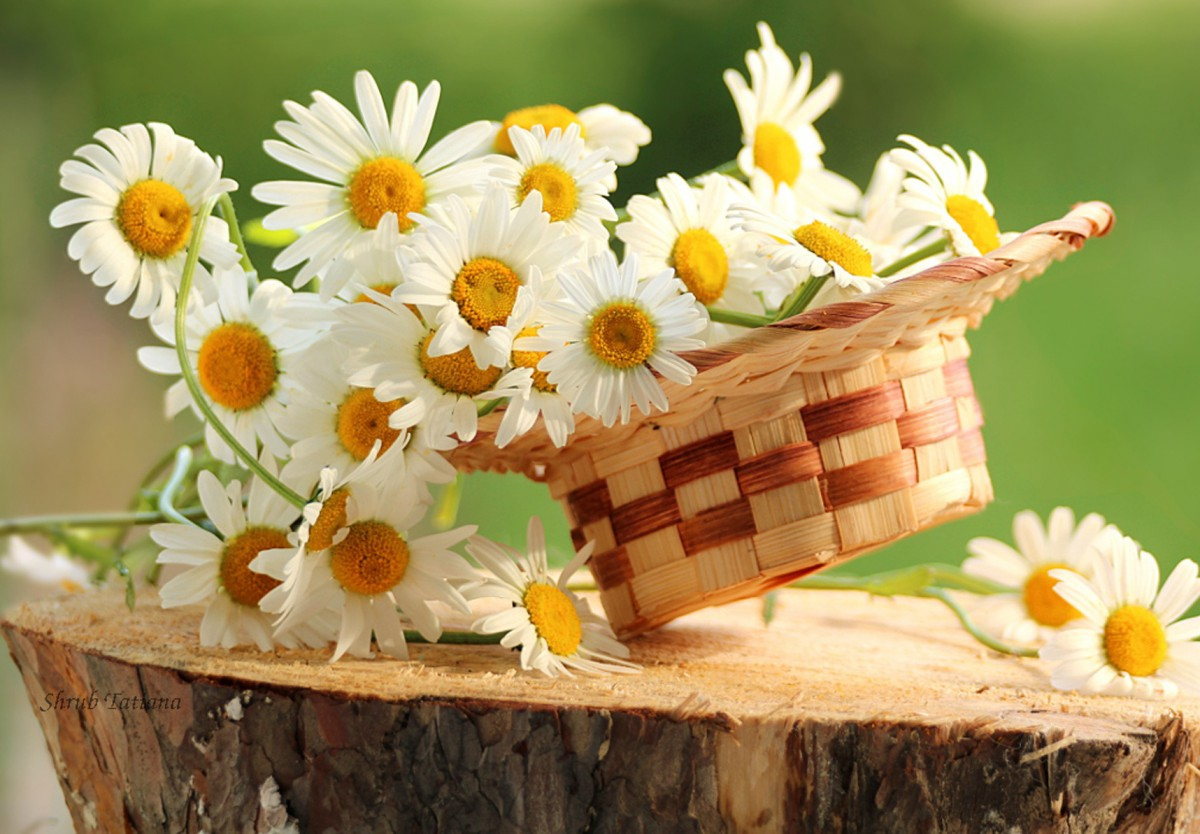 Puzzle Zbierać puzzle online - Chamomile on the stump