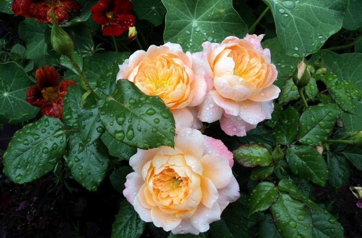 Puzzle Zbierać puzzle online - Roses and nasturtium