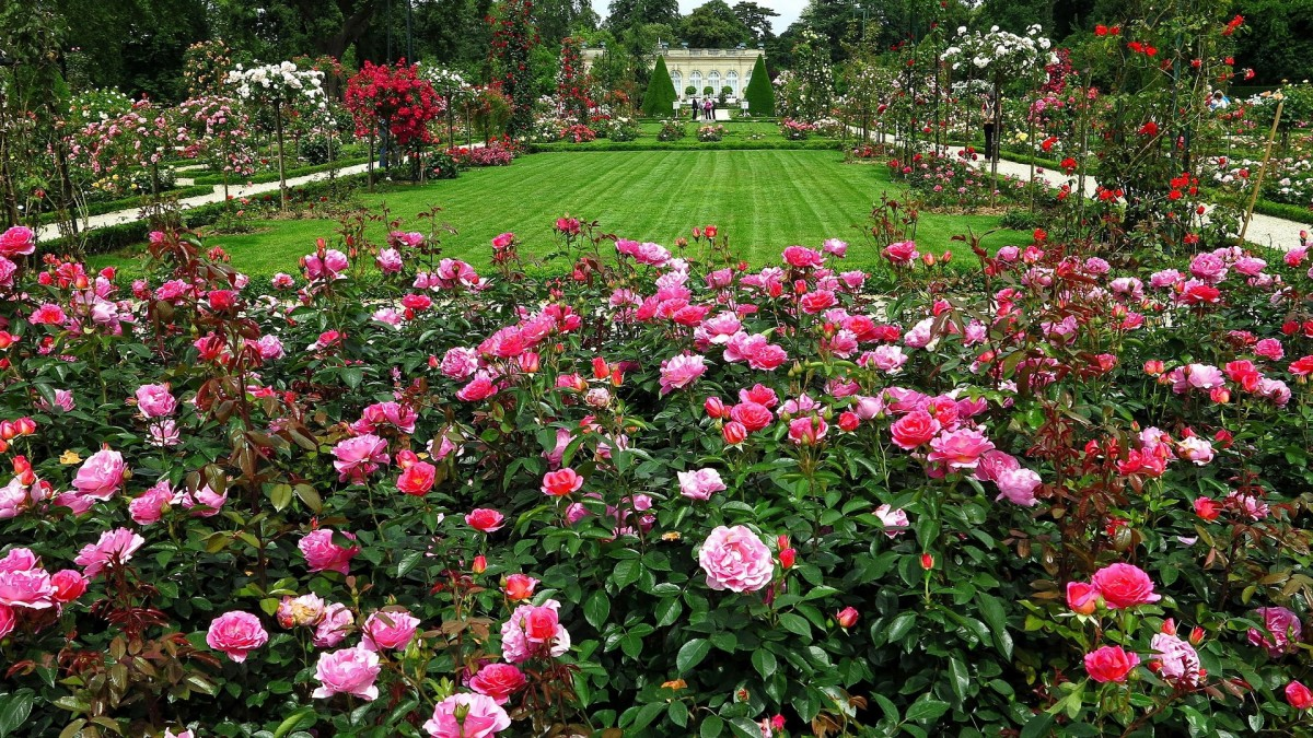 Puzzle Zbierać puzzle online - Rose garden