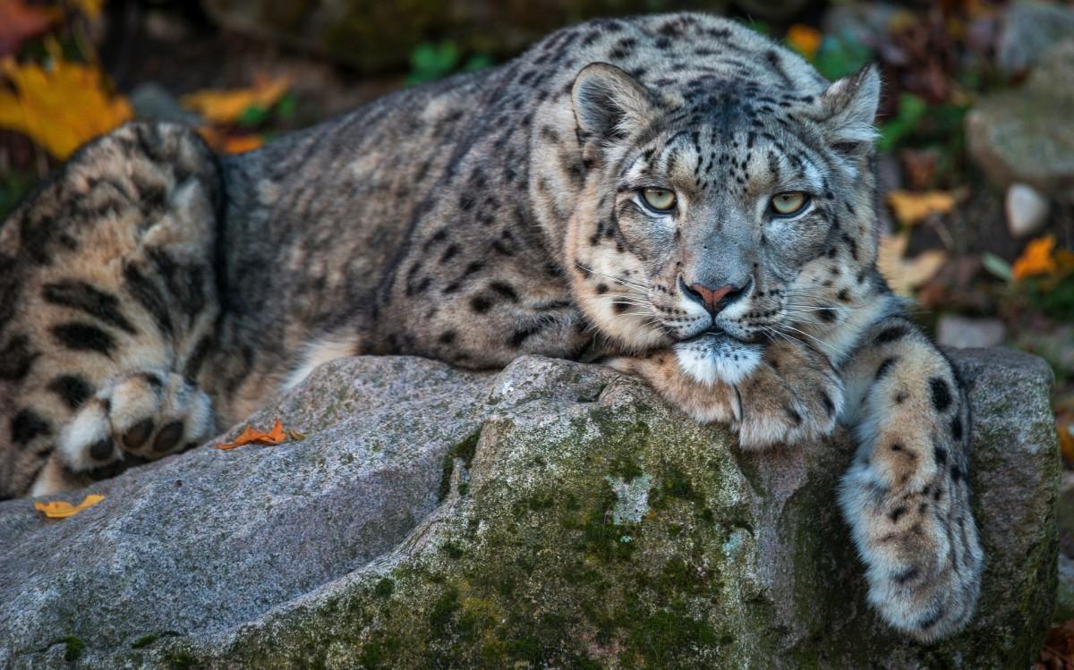 Puzzle Zbierać puzzle online - Snow leopard