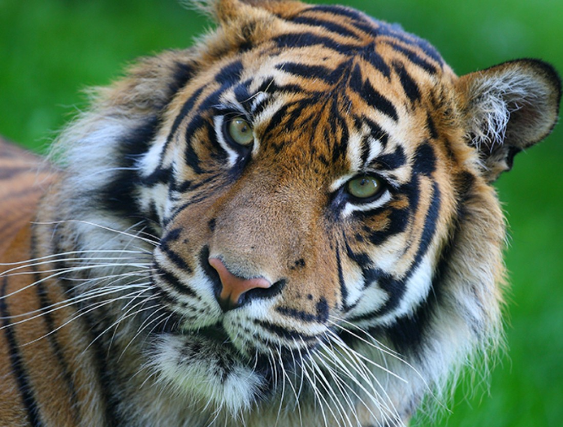 Puzzle Zbierać puzzle online - Tiger