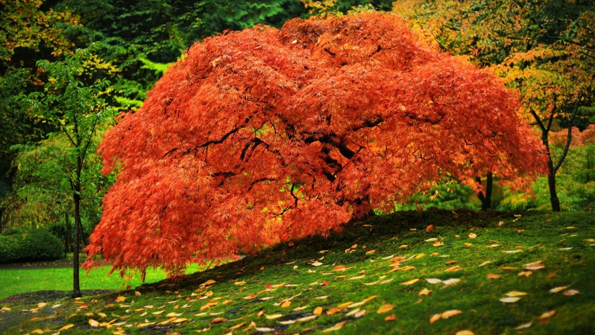 Puzzle Zbierać puzzle online - Japanese maple