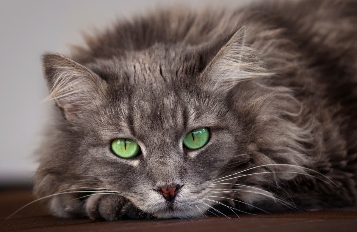Puzzle Zbierać puzzle online - Green-eyed cat