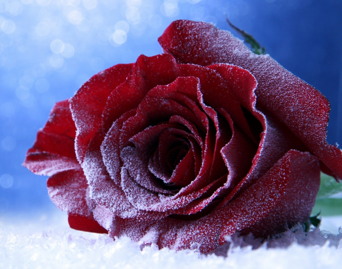 Puzzle Zbierać puzzle online - Winter rose