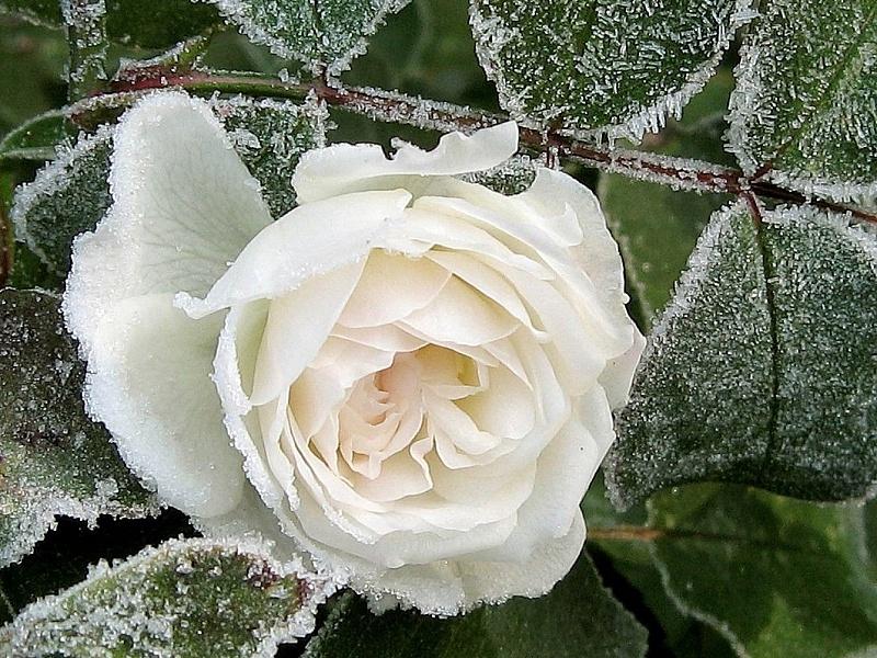 Puzzle Zbierać puzzle online - Belaya roza v inee