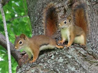 Собирать пазл Squirrels онлайн