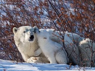 Собирать пазл The polar bears онлайн