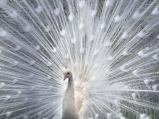 Собирать пазл White peacock онлайн