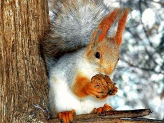 Собирать пазл Squirrel with nut онлайн