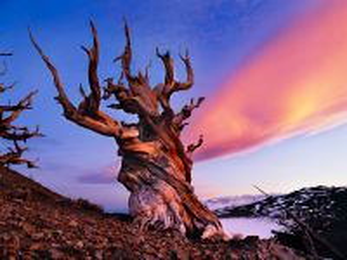 Собирать пазл Bristlecone pines онлайн