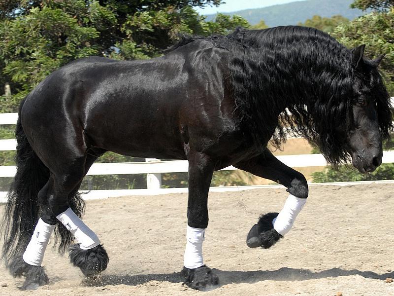 Puzzle Zbierać puzzle online - Black stallion