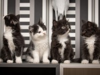 Собирать пазл Black and white kittens онлайн
