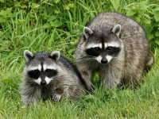 Собирать пазл Two raccoons онлайн