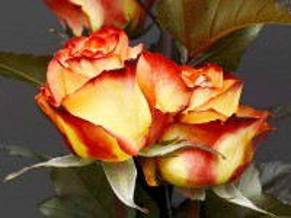 Собирать пазл Two roses онлайн