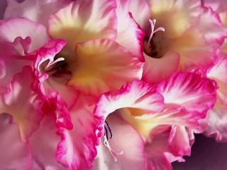Собирать пазл Gladiolus онлайн