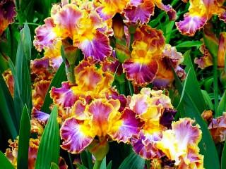 Собирать пазл Irises онлайн