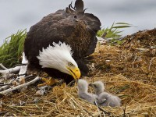 Собирать пазл Feeding Chicks онлайн
