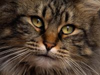 Собирать пазл Cat онлайн