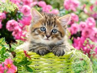 Собирать пазл Kitten in the garden онлайн