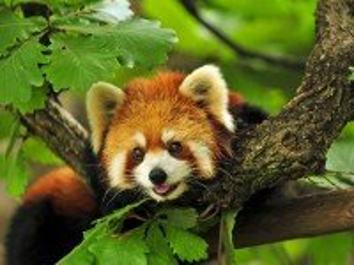 Собирать пазл Krasnaya panda онлайн