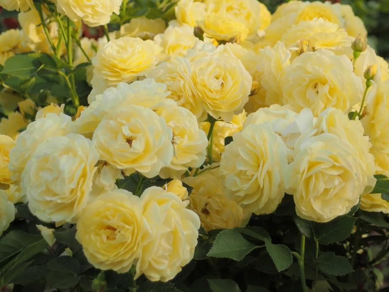 Puzzle Zbierać puzzle online - Roses bush