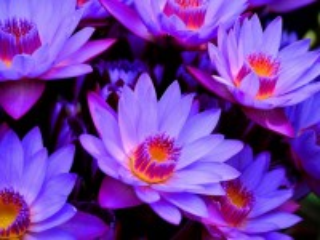 Собирать пазл Lotus онлайн
