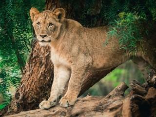Собирать пазл Lioness on a tree онлайн