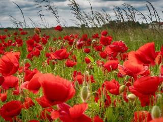 Собирать пазл Poppies in the field онлайн