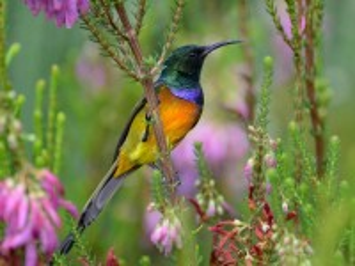Собирать пазл The Sunbird онлайн
