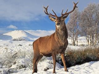 Собирать пазл Deer in winter онлайн