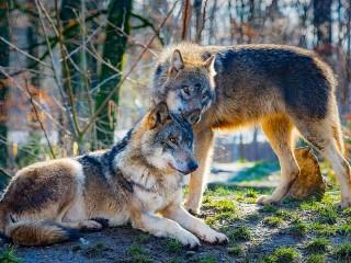 Собирать пазл Pair of wolves онлайн