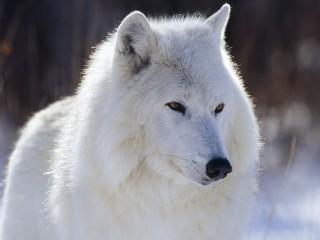 Собирать пазл Polar wolf онлайн