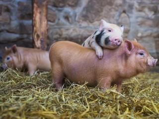 Собирать пазл Pigs онлайн