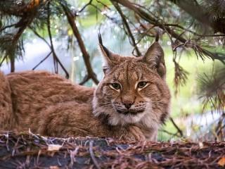 Собирать пазл Lynx under a pine tree онлайн