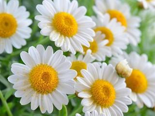 Собирать пазл Daisy онлайн