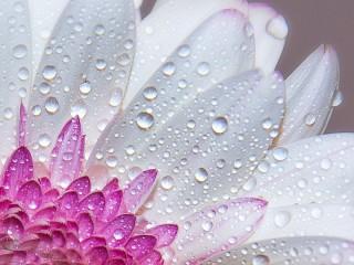 Собирать пазл Dew on a flower онлайн