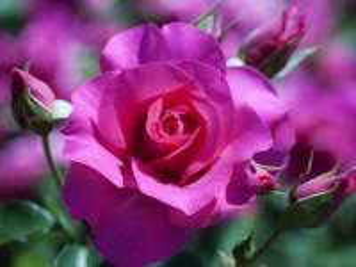 Собирать пазл Rose онлайн