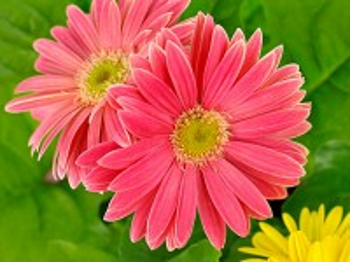 Собирать пазл Pink gerbera онлайн