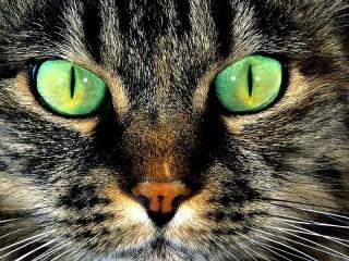 Собирать пазл Grey cat онлайн