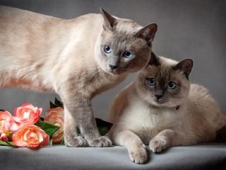 Собирать пазл Siamskie koti онлайн