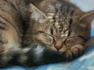 Собирать пазл Sleeping cat онлайн