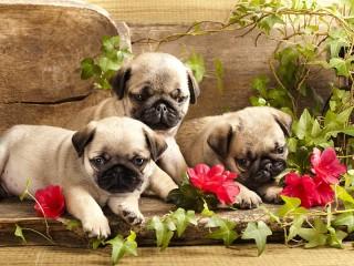 Собирать пазл Three pug онлайн