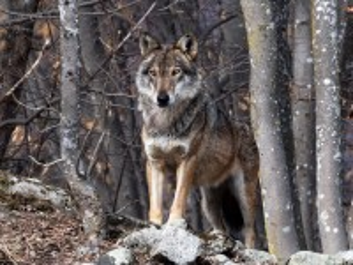 Собирать пазл Wolf in the forest онлайн