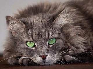 Собирать пазл Green-eyed cat онлайн